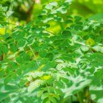 世界に認められているミラクルツリー「モリンガ」 アンチエイジングに必須のスーパーフード