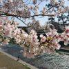 桜だより2018 阪急電車に乗って桜を満喫してきました【夙川・苦楽園・芦屋】
