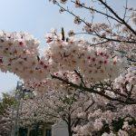 桜だより2018 中二日で2回目のお花見 山陽電車で須磨浦山上遊園へ